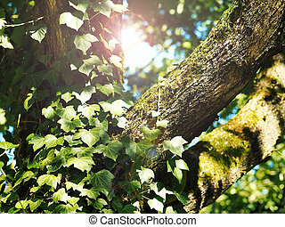 Detail of an old tree with ivy and moss