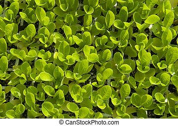 baby lettuce growing