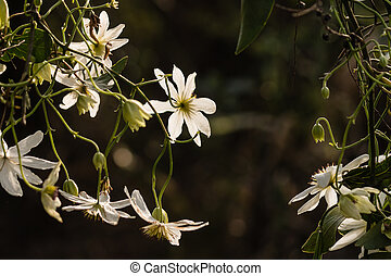 backlit white clematis flowers