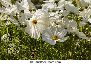 backlit white cosmos flowers