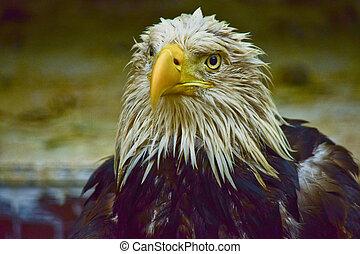 Detail of bald eagle