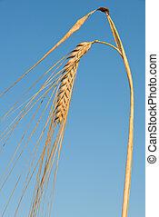 detail of barley