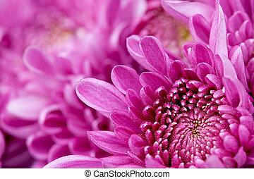 Detail of beautiful chrysanthemum