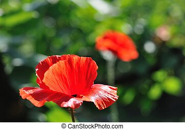Detail of beautiful red poppy