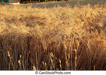 wheat field, selective focus