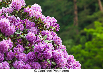 Detail of Blossoming Rhododendron