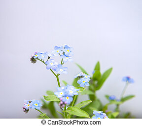 myosotis flower isolated over white