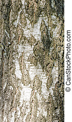 Detail of Brich Bark Texture