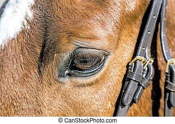 detail of brown horse eye