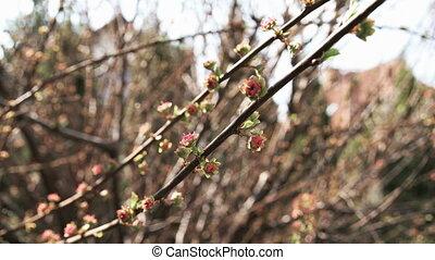 Buds of prunus triloba - Detail of Buds of prunus triloba...