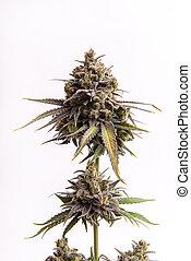 Detail of Cannabis flower (CBD dream strain) isolated over white background