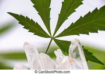 Detail of cannabis leaf isolated over white background