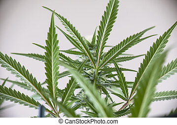 Detail of cannabis plant growing indoors, medical marijuana concept