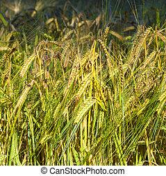 detail of corn field
