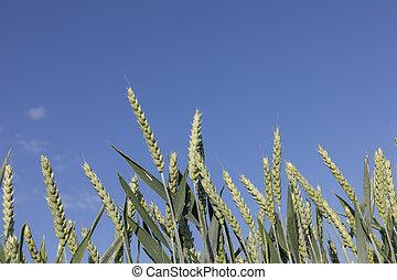 detail of corn field under blue sky
