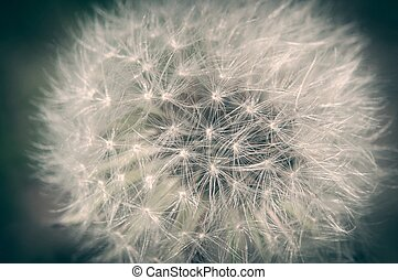 Detail of dandelion against blurred background