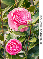 detail of double-flowered pink camellia japonica cultivar ...