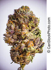 Detail of dried cannabis flower (grandaddy purple strain) isolated over white