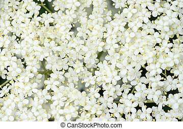 Detail of Elder flower Sambucus nigra - Detail of Elder ...