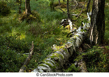 birch tree covered with green moss and polypore