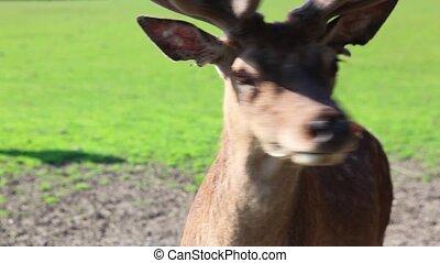 Detail of fallow deer