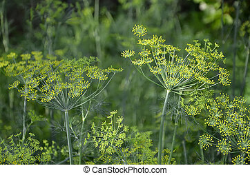 detail of flowering dill in garden photography