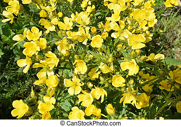 Detail of Flowers of Canary Buttercup. Gran Canaria.