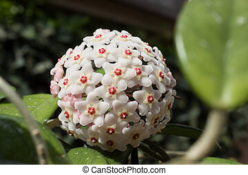 Detail of flowers of wax plant (Hoya carnosa)