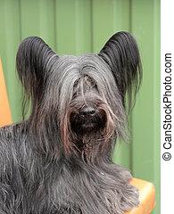 Detail of funny Skye Terrier