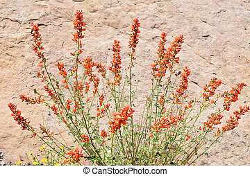 Detail of globemallow in the wilds, Utah