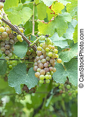 detail of grapes in the vineyard