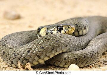 detail of grass snake