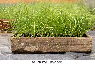 small leek seedlings
