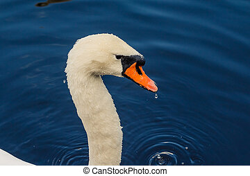 Detail of head of a swan. Dark blue water background, blue water. Long neck of a swan close up. Wet fur and feathers of a white swan head. Bird portrait in nature. Copy space