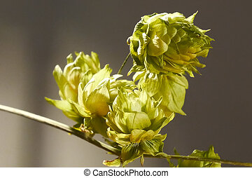 Detail of Hop Cones on the Dark Background.