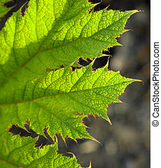 detail of leaf, Keukenhof Gardens, Lisse, Netherlands