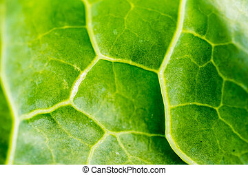 Detail of leaf of cabbage