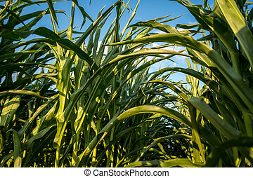 detail of leafs of corn
