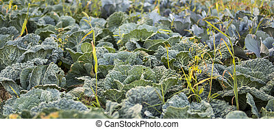 detail of leaves of cabbage
