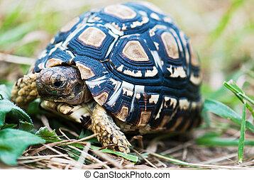 Detail of leopard turtle