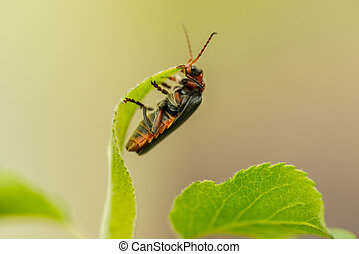 Detail of lighting bug on leaf in day light garden