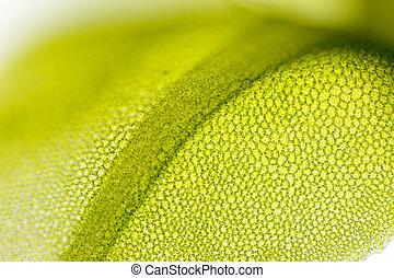 Detail of moss leaf (Plagiomnium affine)
