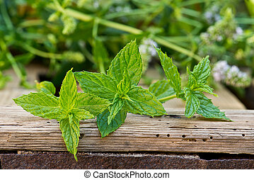 Detail of peppermint plant on the wooden desk
