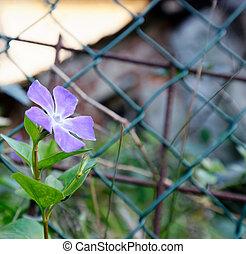 perwinkle flower in a meadow