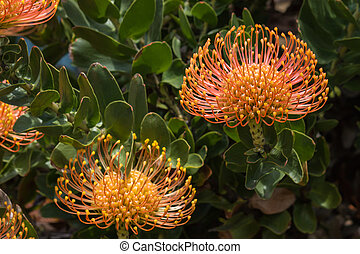 detail of pincushion protea flowers