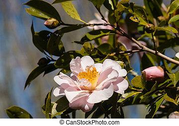pink camellia flower head - detail of pink camellia flower ...