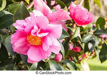 pink camellia sasanqua flowers in bloom with blurred background