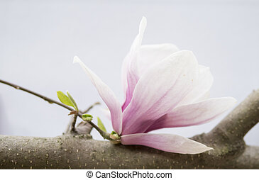 pink magnolia flowers isolated over white background