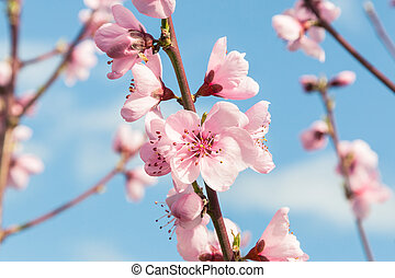 pink peach tree flowers in bloom with blurred sky background