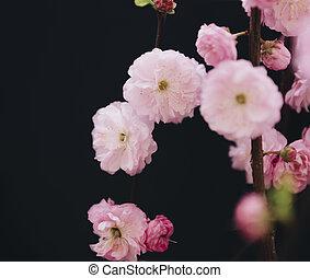 detail of prunus triloba flowers over dark background
